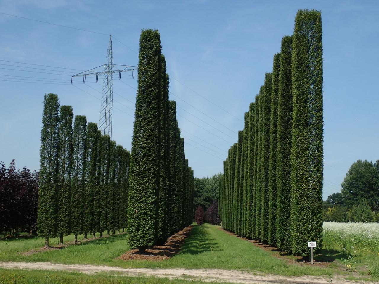 Trær på geledd, Tyskland